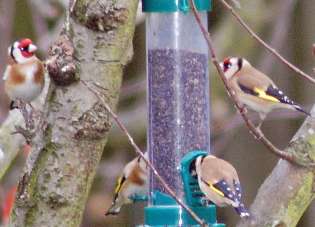 Bull Finch Birds in Bangor Northern Ireland, Less Ordinary Bucket List