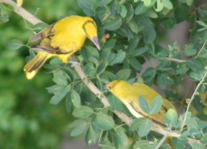 Black Naped Orioles, New Years Day in Bangkok, Southeast Asia