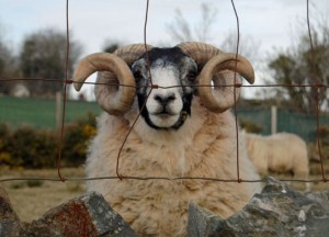 Countryside Sheep Mourne Mountains Top 10 Northern Ireland Attractions