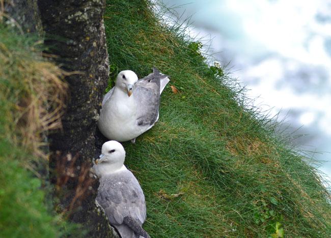 Nesting Kittiwakes Rathlin, Top 10 Northern Ireland Attractions NI