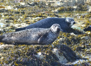 Seals on Rathlin Island, Top 10 Northern Ireland Attractions NI