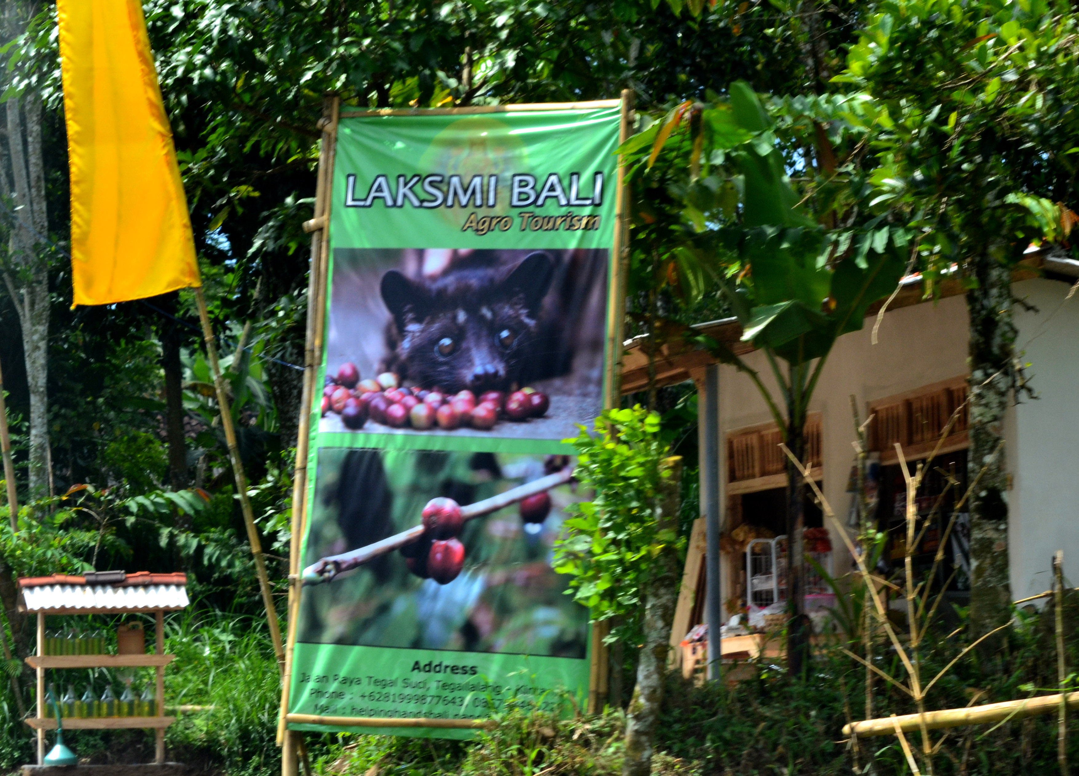 MOST EXPENSIVE COFFEE IN THE WORLD - KOPI LUWAK    ALAM ...  Kopi Luwak Coffee Plantations