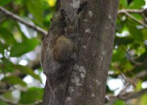 Slow Loris Climbing Tree, No Alcohol, Perhentian Besar, Malaysia