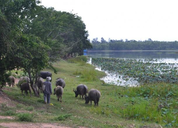 Farmer Walking his Buffalo, Isaan Tours and Phanom Rung