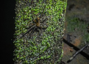 Huntsman Spider in Brunei, Phobias in Borneo Rainforests