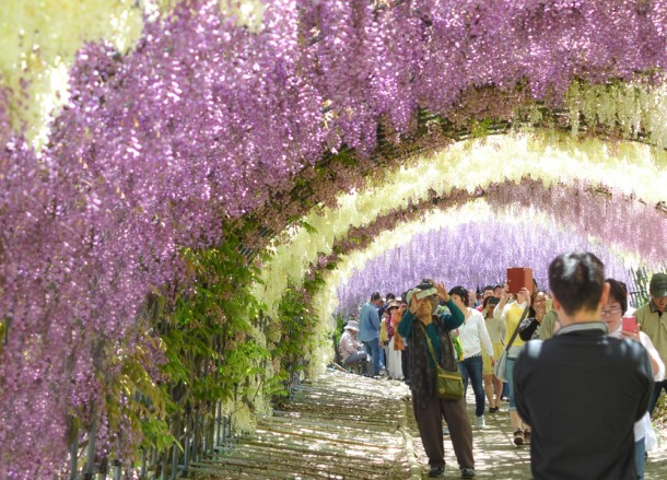 Tourists Travel to Kawachi Fuji Garden and Wisteria Tunnel