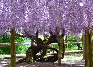Wisteria Trees, Travel to Kawachi Fuji Garden and Wisteria Tunnel