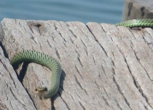 Friendly Tree Snake at Captain Hook Resort Koh Kood, Travel Thailand